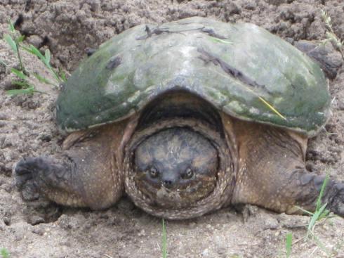 6-01-13U Same Turtle