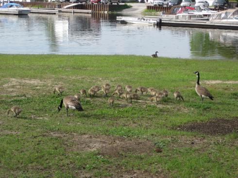 6-01-13Z3 Goose Family